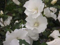 Hibiscus * syriacus \'Eleonore\' cov