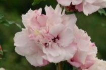 Hibiscus * syriacus \'French Cabaret® Pastel\'