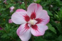 Hibiscus * syriacus \'Hamabo\'