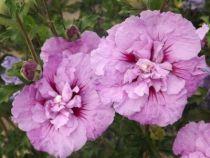 Hibiscus * syriacus \'Lavender Chiffon\'