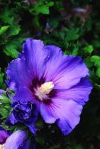 Hibiscus * syriacus \'Oiseau Bleu\'