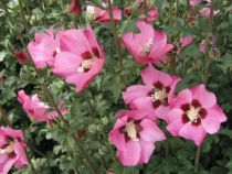 Hibiscus * syriacus \'Pink Giant®\'