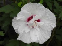 Hibiscus * syriacus \'Pinky Spot®\'