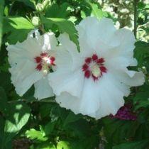 Hibiscus * syriacus \'Sup\'Heart\'