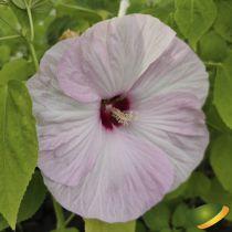 Hibiscus* moscheutos \'Luna\' F1 Pink Swirl Blanc rosé oeil rouge