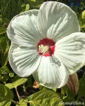 Hibiscus* moscheutos \'Luna\' F1 White
