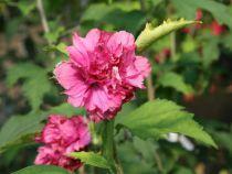 Hibiscus* syriacus \'Duc de Brabant\'