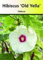 Hibiscus moscheutos \' Old Yella \'