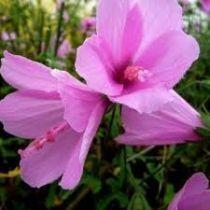Hibiscus pedunculosa