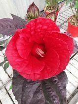 Hibiscus summerific ® midnight marvel