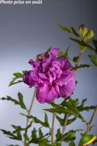 Hibiscus syriacus \'French Cabaret® Purple\'