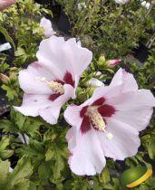 Hibiscus syriacus \'Mathilde\'