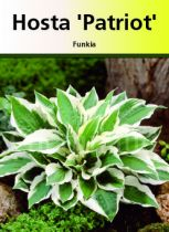 Hosta \' Patriot\'