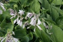 Hosta \'Empress Wu\'
