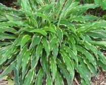 hosta stilletoindex