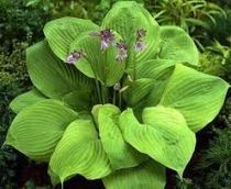 hosta sum and substanceindex
