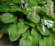 Hosta plantaginea \'Grandiflora\'