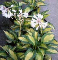 Hosta sieboldiana \' Great Expectations \'