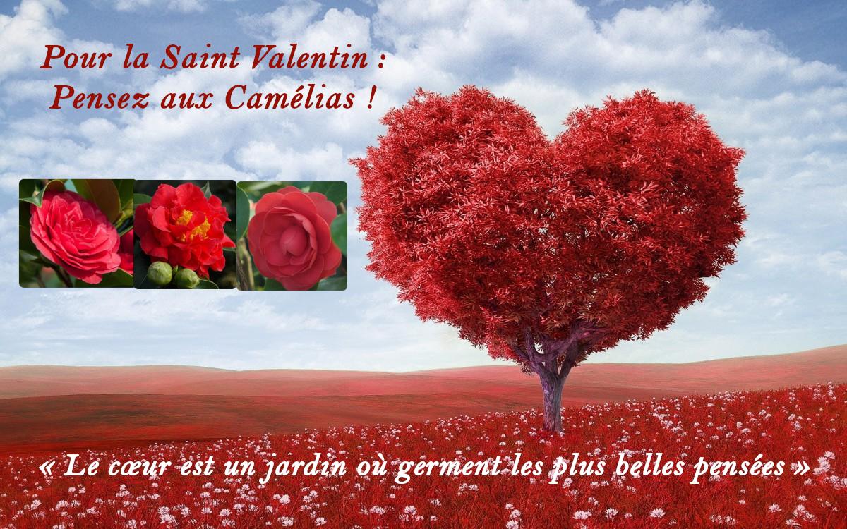 Saint Valentin - Pensez aux camélias !