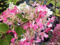 Hydrangea* paniculata \'Diamant rouge\'