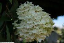 Hydrangea* paniculata \'Grandiflora\'