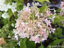 Hydrangea* paniculata \'Kyushu\'