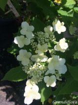 Hydrangea* paniculata \'Levana\'