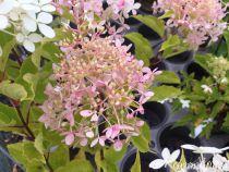 Hydrangea* paniculata \'Papillon\'