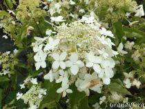 Hydrangea* paniculata \'Perle d\'automne\'