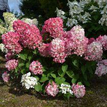 Hydrangea* paniculata \'Pink Diamond\'