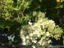 Hydrangea* paniculata \'Silver Dollar\'