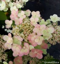 Hydrangea* paniculata \'Sparkling\'