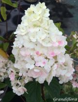 Hydrangea* paniculata \'Sundae Fraise\'