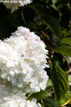 Hydrangea* paniculata \'Vanille-Fraise\'