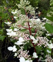 Hydrangea* paniculata \'Wim\'s Red\'
