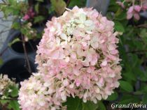 Hydrangea* paniculata Little Lime ® \'Jane\'
