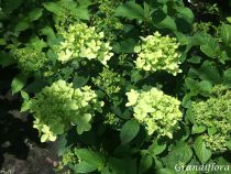 Hydrangea* paniculata magical candle \'Bokraflame\'