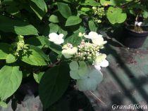 Hydrangea* paniculata magical fire \'Bokraplume\'