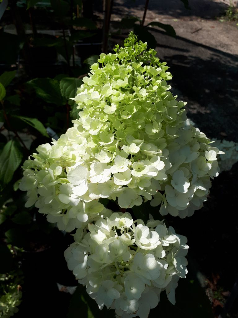 Hydrangea* paniculata magical moonlight \'Kolmagimo\'