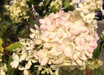 Hydrangea* paniculata Magical® Sweet Summer \'Bokrathirteen\'