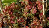 Hydrangea anomala \'Winter Surprise\'