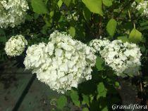 Hydrangea arborescens \'Annabelle\'