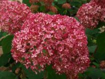 Hydrangea arborescens \'Invincibelle ® Spirit\'