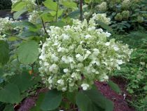Hydrangea arborescens \'Strong Annabelle\'