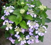 Hydrangea \'Blue Wave\' ou hortensia de jardin à tête plate bleue en été en exposition mi-ombre à ombre et en sol frais et acide.