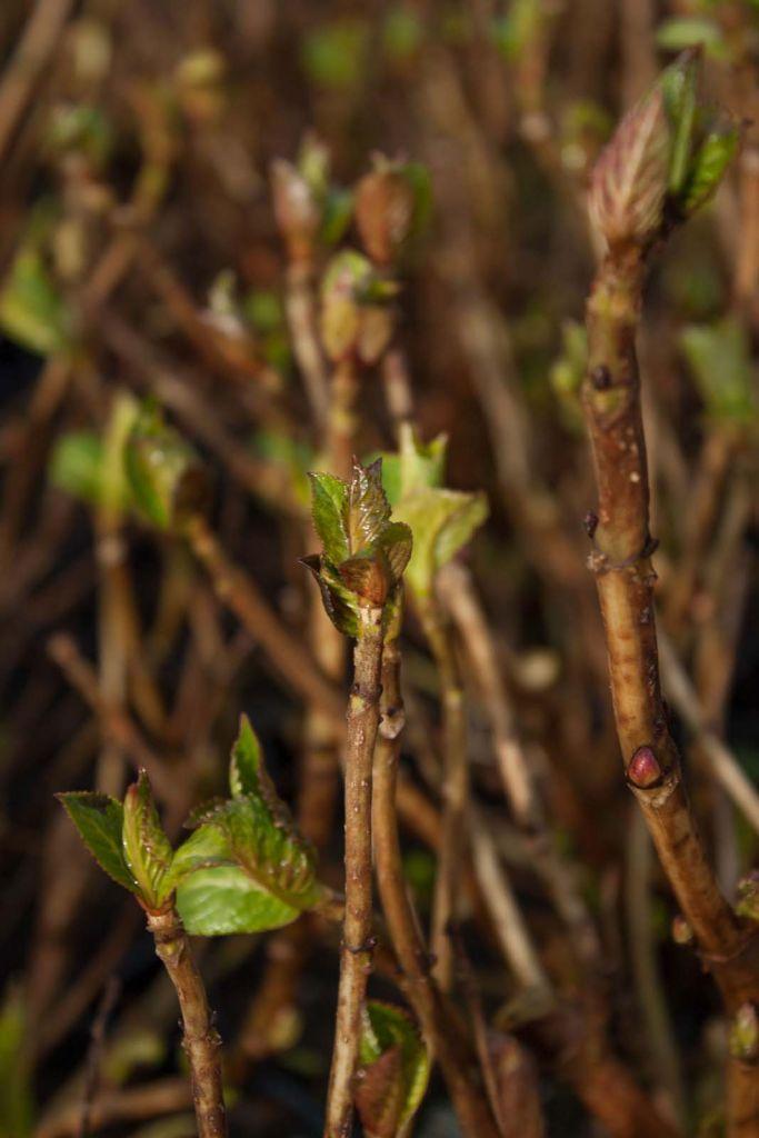 Hydrangea macrophylla  \' Mariesii\'