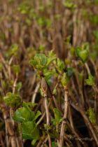 Hydrangea macrophylla \' Ayesha \'