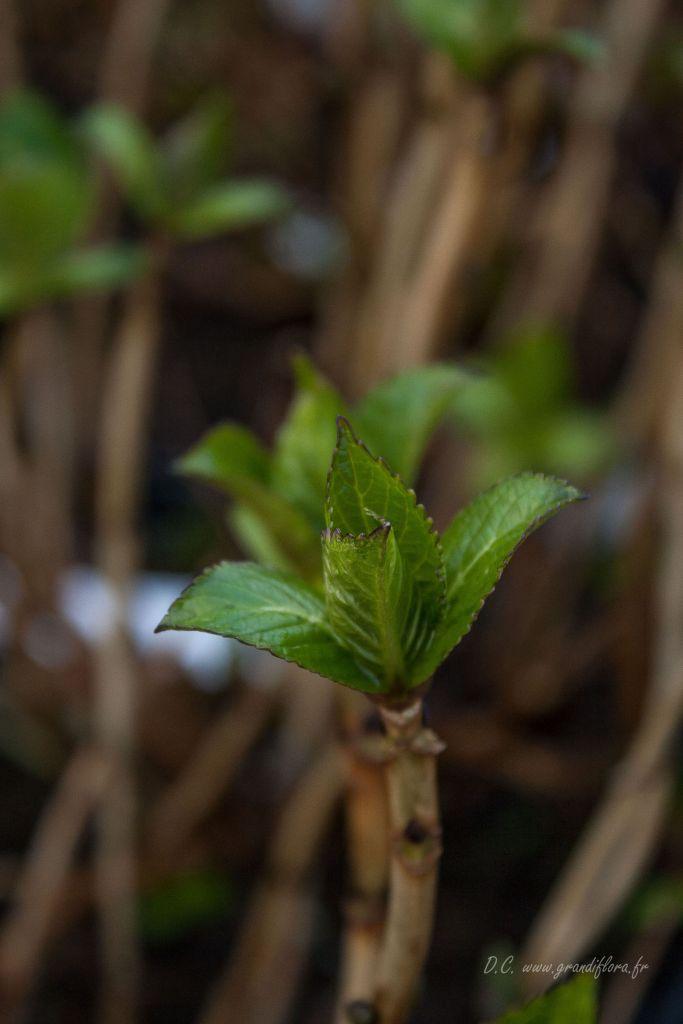 Hydrangea macrophylla \' Blue Wave \'