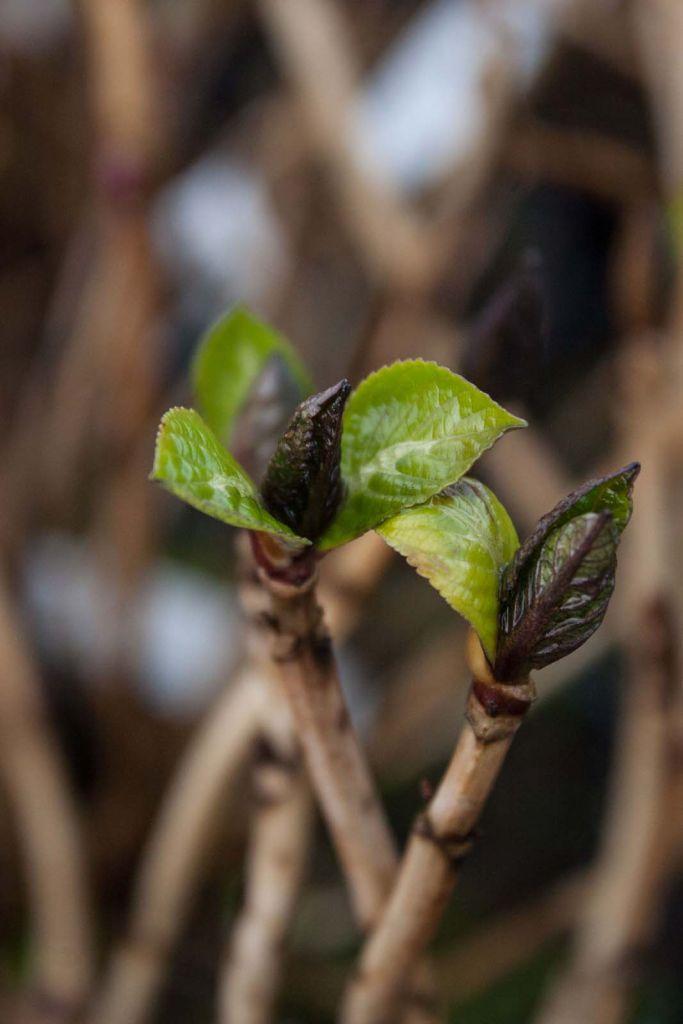 Hydrangea macrophylla \' Kuhnert \' ou hortensia de jardin à floraison en boule bleu ou rouge suivant l\'acidité du sol, à planter à mi-ombre