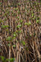 Hydrangea macrophylla \' Kuhnert \'